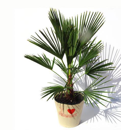 trachycarpus fortunei spalm. Black Bedroom Furniture Sets. Home Design Ideas